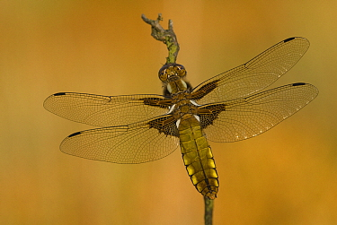 Broad-bodied Chaser (Libellula depressa) dragonfly female, Military Domain Groot Schietveld, Campine, Antwerp, Flanders, Belgium  -  Danny Laps/ NiS