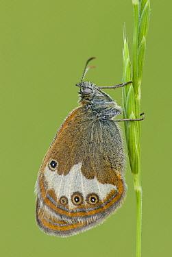 Pearly Heath (Coenonympha arcania) on grass, Gaume, Lorraine, Belgium  -  Danny Laps/ NiS