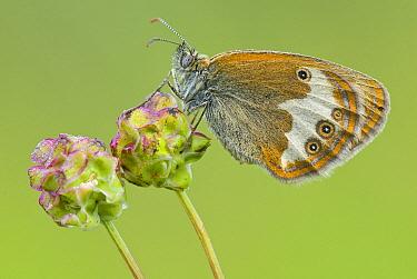 Pearly Heath (Coenonympha arcania) butterfly on Burnet (Sanguisorba sp), Gaume, Lorraine, Belgium  -  Danny Laps/ NiS