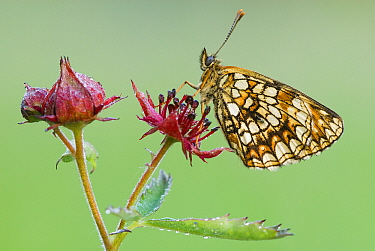 False Heath Fritillary (Melitaea diamina) butterfly on Marsh Cinquefoil (Potentilla palustris), Gaume, Lorraine, Belgium  -  Danny Laps/ NiS