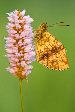 Lesser Marbled Fritillary (Brenthis ino) butterfly on Meadow Bistort (Persicaria bistorta), Gaume, Lorraine, Belgium  -  Danny Laps/ NiS