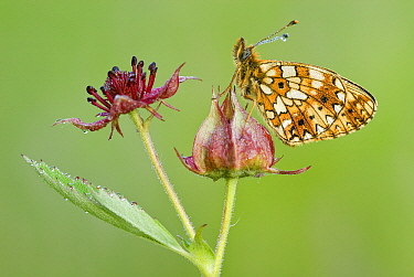 Small Pearl-bordered Fritillary butterfly (Boloria selene) on Marsh Cinquefoil (Potentilla palustris), Gaume, Lorraine, Belgium  -  Danny Laps/ NiS