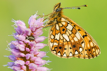 Small Pearl-bordered Fritillary (Boloria selene) butterfly on Meadow Bistort (Persicaria bistorta), Gaume, Lorraine, Belgium  -  Danny Laps/ NiS