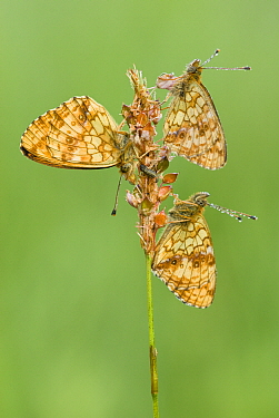 Lesser Marbled Fritillary (Brenthis ino) butterfly trio on seed head, Gaume, Lorraine, Belgium  -  Danny Laps/ NiS