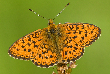 Lesser Marbled Fritillary (Brenthis ino) butterfly, Gaume, Lorraine, Belgium  -  Danny Laps/ NiS