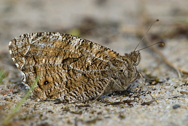 Grayling (Hipparchia semele) warming up on the sand, Groot Schietveld, Campine, Antwerp, Flanders, Belgium  -  Danny Laps/ NiS