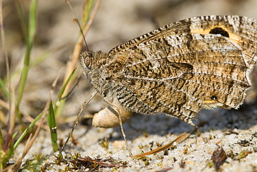 Grayling (Hipparchia semele) female laying eggs, Groot Schietveld, Campine, Antwerp, Flanders, Belgium  -  Danny Laps/ NiS