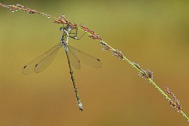 Emerald Damselfly (Lestes sponsa) on Moor Grass (Molinia caerulea), Den Diel, Antwerp, Flanders, Belgium  -  Danny Laps/ NiS