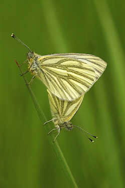 Green-veined White (Pieris napi) butterfly pair mating, Zoerselbos, Antwerp, Flanders, Belgium  -  Danny Laps/ NiS