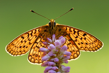 Ocellate Bog Fritillary (Boloria eunomia) butterfly on Meadow Bistort (Persicaria bistorta), Gaume, Lorraine, Belgium  -  Danny Laps/ NiS