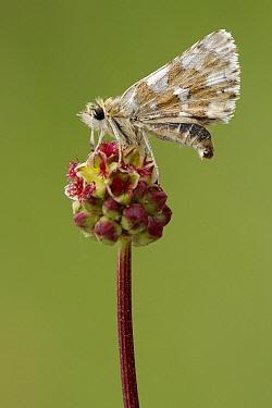 Red Underwing Skipper (Spialia sertorius) on Burnet (Sanguisorba sp), Fondry des Chiens, Viroinval, Calestienne, Belgium  -  Danny Laps/ NiS