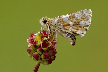Red Underwing Skipper (Spialia sertorius) butterfly on Burnet (Sanguisorba sp), Fondry des Chiens, Viroinval, Calestienne, Belgium  -  Danny Laps/ NiS