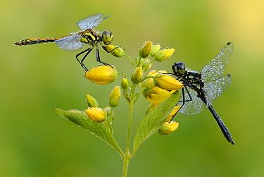 Black Darter (Sympetrum danae) dragonfly pair, Military Domain Groot Schietveld, Campine, Antwerp, Flanders, Belgium  -  Danny Laps/ NiS