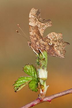 Comma (Polygonia c-album) butterfly on Shrubby Blackberry (Rubus fruticosus), Antwerp, Flanders, Belgium  -  Danny Laps/ NiS