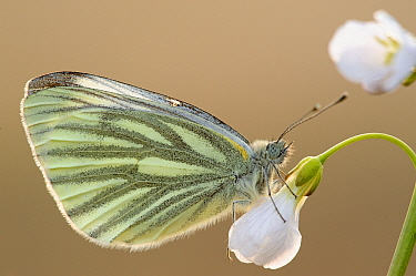 Green-veined White (Pieris Napi) butterfly on Cuckoo Flower (Cardamine pratensis), Antwerp, Flanders, Belgium  -  Danny Laps/ NiS
