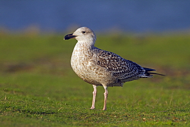 Great Black-backed Gull (Larus marinus) juvenile, Kornwerderzand, Friesland, Netherlands  -  Joke Stuurman/ NiS