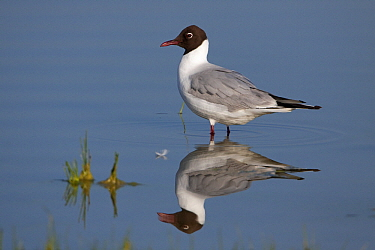 Black-headed Gull (Larus ridibundus), Lake Neusiedl, Austria  -  Joke Stuurman/ NiS