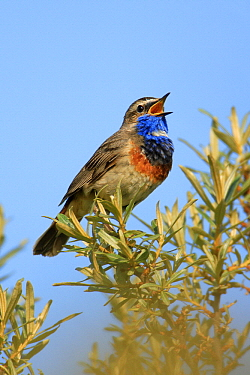 Bluethroat (Luscinia svecica) male singing in spring, Texel, Noord-Holland, Netherlands  -  Duncan Usher