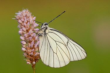 Black-veined White (Aporia crataegi) on Meadow Bistort (Persicaria bistorta), Gaume, Lorraine, Belgium  -  Danny Laps/ NiS