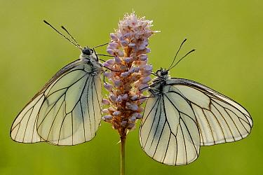 Black-veined White (Aporia crataegi) butterfly pair on Meadow Bistort (Persicaria bistorta), Gaume, Lorraine, Belgium  -  Danny Laps/ NiS