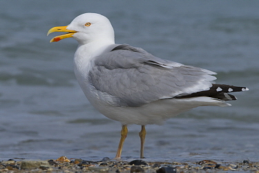 Caspian Gull (Larus cachinnans) at the shore, Helgoland, Germany  -  Danny Laps/ NiS
