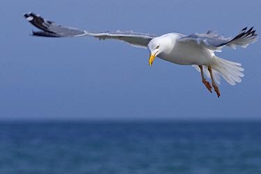 Caspian Gull (Larus cachinnans) flying, Helgoland, Germany  -  Danny Laps/ NiS