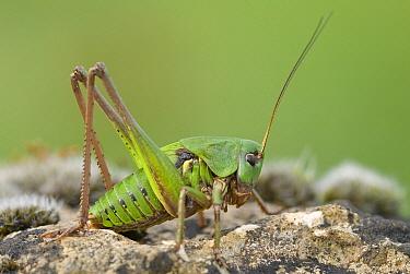 Wart-biter (Decticus verrucivorus) cricket on a stone, Gaume, Lorraine, Belgium  -  Danny Laps/ NiS