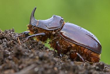 European Rhinoceros Beetle (Oryctes nasicornis) male on compost, Antwerp, Flanders, Belgium  -  Danny Laps/ NiS