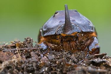 European Rhinoceros Beetle (Oryctes nasicornis), Antwerp, Flanders, Belgium  -  Danny Laps/ NiS