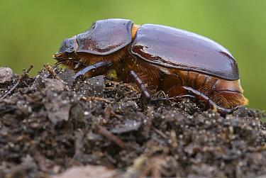 European Rhinoceros Beetle (Oryctes nasicornis) female on compost, Antwerp, Flanders, Belgium  -  Danny Laps/ NiS