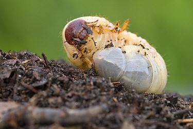 European Rhinoceros Beetle (Oryctes nasicornis) larva, Antwerp, Flanders, Belgium  -  Danny Laps/ NiS