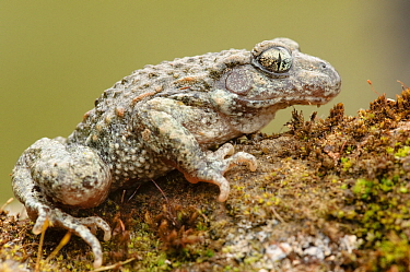 Midwife Toad (Alytes obstetricans) female on a stone, Limburg, Netherlands  -  Danny Laps/ NiS