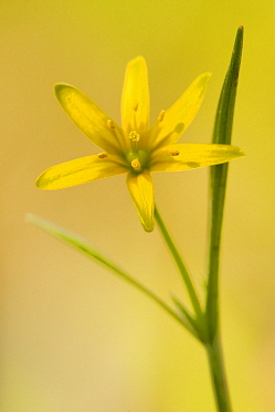 Yellow Star-of-Bethlehem (Gagea lutea) flower, Liege, Belgium  -  Danny Laps/ NiS