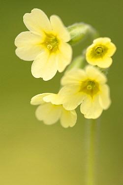 Oxlip (Primula elatior) flower, Groot Schietveld, Antwerp, Flanders, Belgium  -  Danny Laps/ NiS