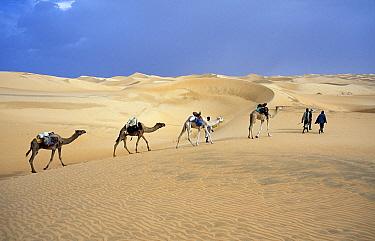 Dromedary (Camelus dromedarius) group and herdsmen, Mauritania  -  Melvin Redeker / Buiten-beeld