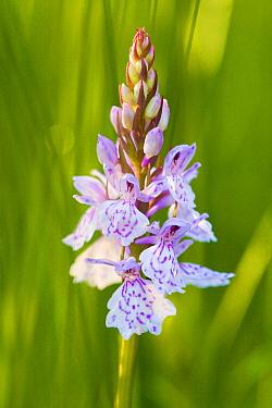 Heath Spotted Orchid (Dactylorhiza maculata), Eexterveld, Eext, Drenthe, Netherlands  -  Maarten Westmaas/ NiS