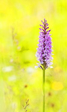 Heath Spotted Orchid (Dactylorhiza maculata), Jydelejet, Moen, Denmark  -  Maarten Westmaas/ NiS