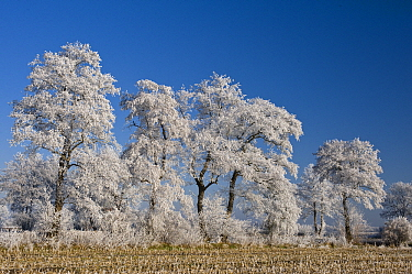 Ice-covered trees at edge of field in winter, Goldenstedter Moor, Lower Saxony, Germany  -  Willi Rolfes/ NIS