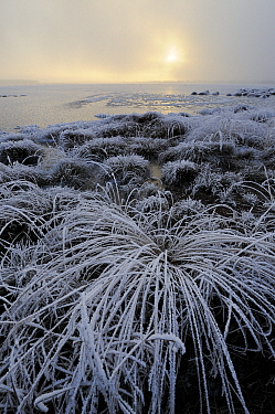 Icy bog plants in winter, Goldenstedter Moor, Lower Saxony, Germany  -  Willi Rolfes/ NIS