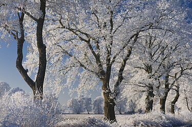 Oak (Quercus sp) row covered in rime ice, Goldenstedter Moor, Lower Saxony, Germany  -  Willi Rolfes/ NIS