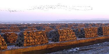 Common Crane (Grus grus) flock migrating over peat bog, Goldenstedter Moor, Lower Saxony, Germany  -  Willi Rolfes/ NIS