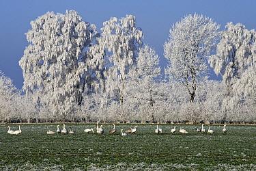 Whooper Swan (Cygnus cygnus) flock in field near ice-covered trees, Goldenstedter Moor, Lower Saxony, Germany  -  Willi Rolfes/ NIS