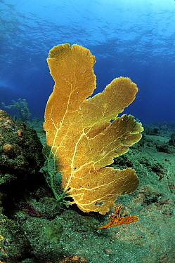 Common Sea Fan (Gorgonia ventalina), Saba, Caribbean  -  Hans Leijnse/ NiS