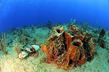 Caribbean Giant Barrel Sponge (Xestospongia muta), Saba, Caribbean  -  Hans Leijnse/ NiS