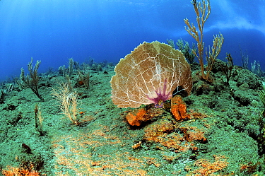Common Sea Fan (Gorgonia ventalina) on coral reef, Saba, Caribbean  -  Hans Leijnse/ NiS