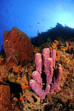 Stove Pipe Sponge (Aplysina archeri) on coral reef, Saba, Caribbean  -  Hans Leijnse/ NiS