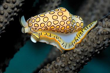 Flamingo Tongue Snail (Cyphoma gibbosum) on coral, Saba, Caribbean  -  Hans Leijnse/ NiS