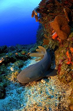 Short-tail Nurse Shark (Ginglymostoma cirratum) on coral reef, Saba, Caribbean  -  Hans Leijnse/ NiS