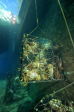 Caribbean Spiny Lobster (Panulirus argus) group in cage, Saba, Caribbean  -  Hans Leijnse/ NiS