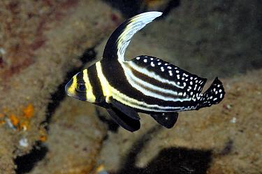 Spotted Drum (Equetus punctatus), Saba, Caribbean  -  Hans Leijnse/ NiS